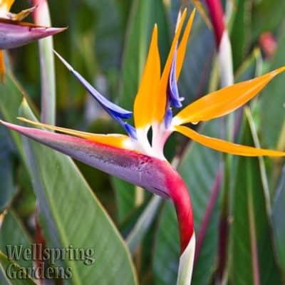 9th anniversary gift idea: a bird of paradise plant