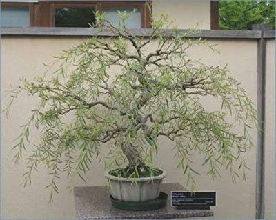 9 year annivesary gift: dragon willow bonsai tree
