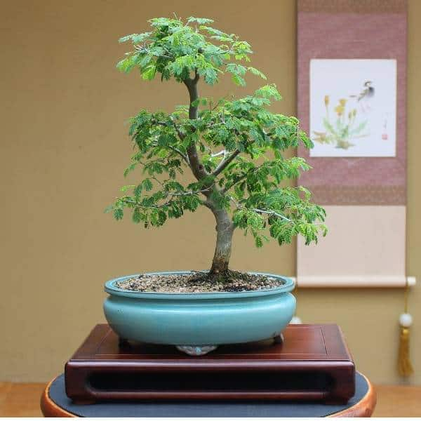 Bonsai Trees Christmas gifts for employees