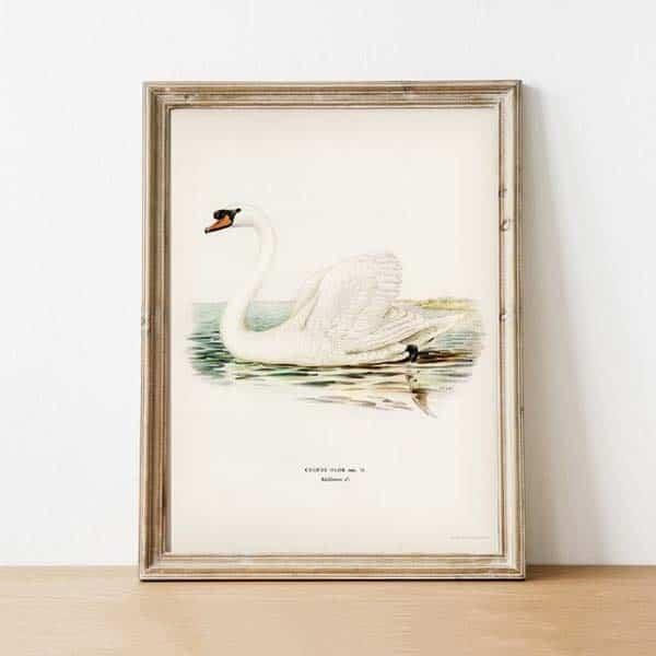 Swan Art Print: Day 7 Seven Swans a Swimming